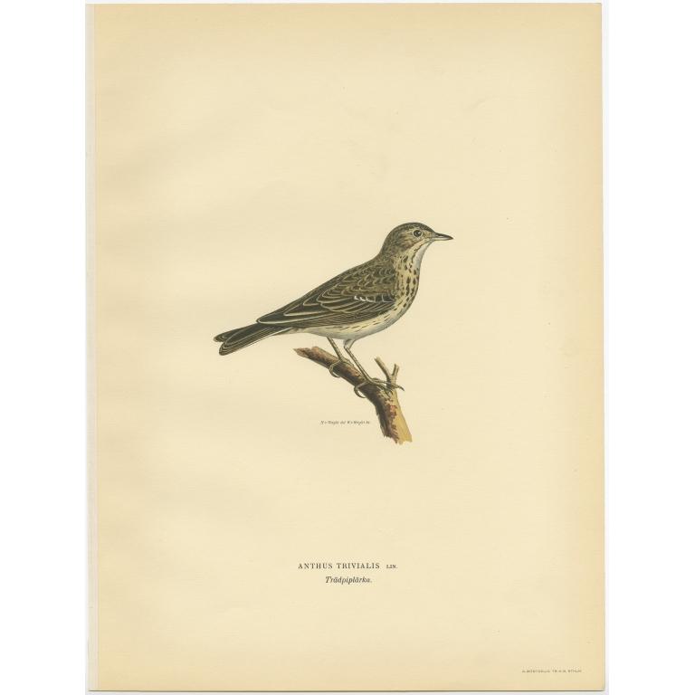 Anthus Trivialis - Von Wright (1927)