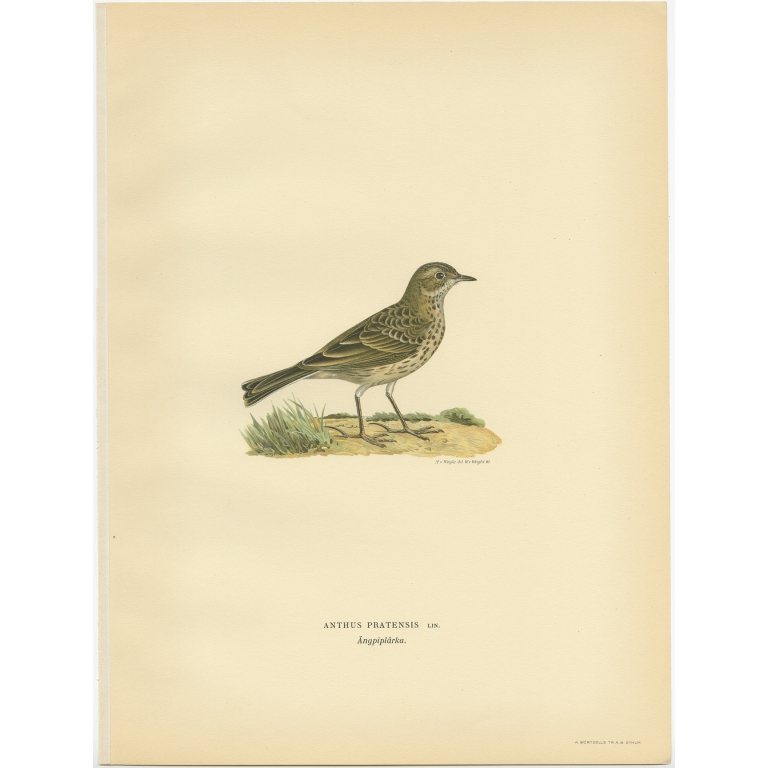 Anthus Pratensis - Von Wright (1927)