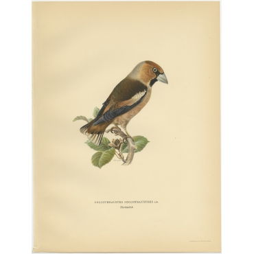 Coccothraustes Coccotrausthes - Von Wright (1927)