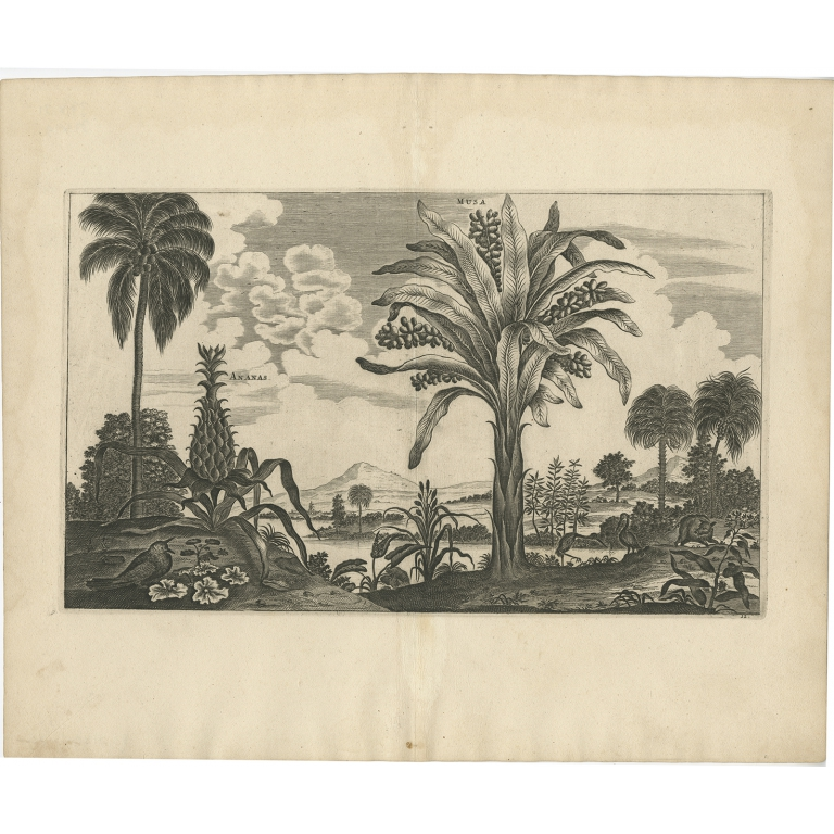 Ananas, Musa - Nieuhof (1668)