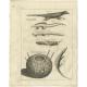 Ichneumon (..) - Shaw (1773)