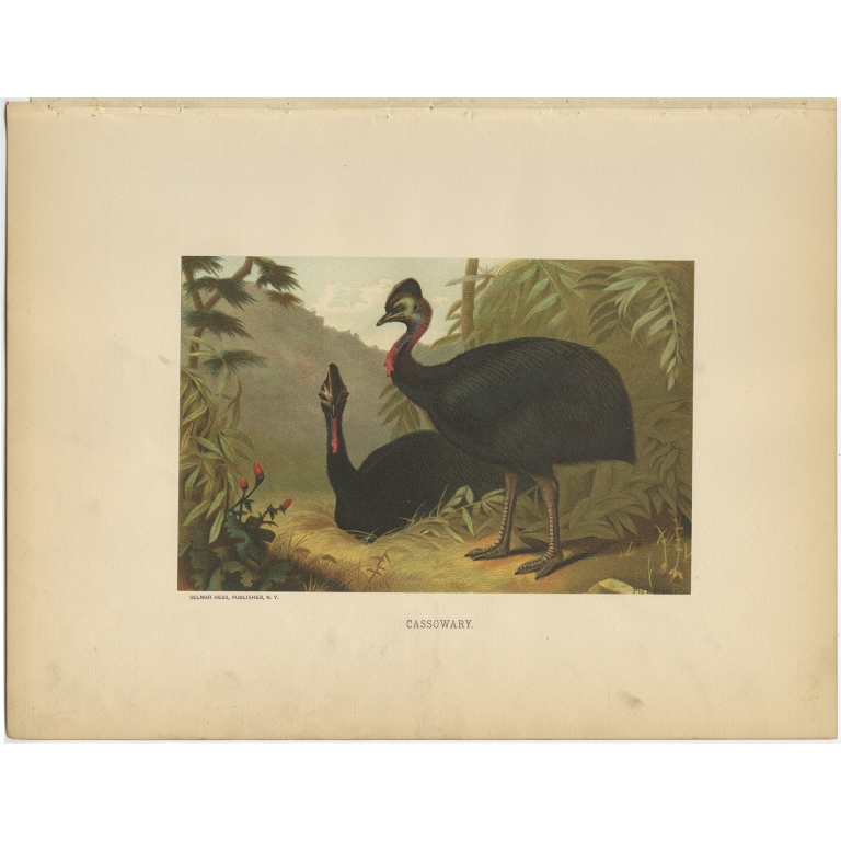 Antique Bird Print of Cassowaries by Prang (1898)