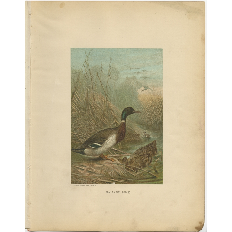 Antique Bird Print of the Mallard Duck by Prang (1898)