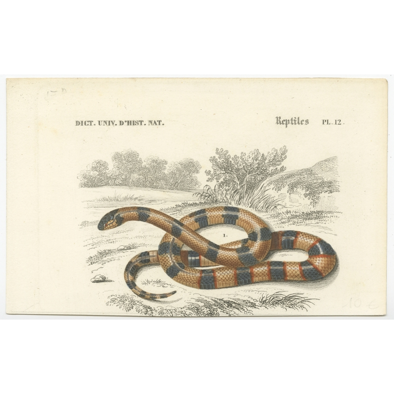 Antique Print of a Painted Coral Snake by Orbigny (1849)