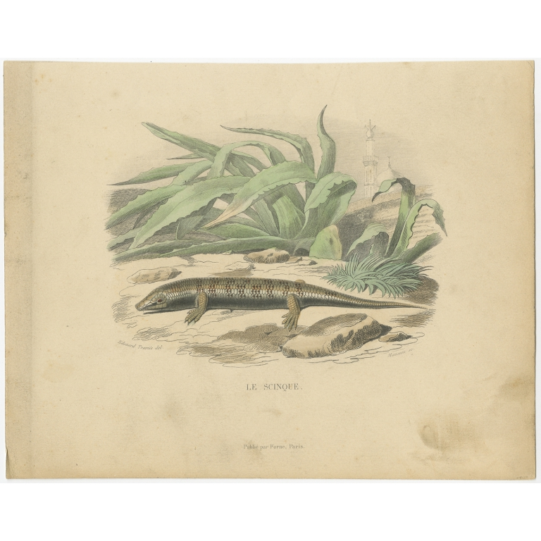 Antique Print of a Skink Lizard by Travies (1881)