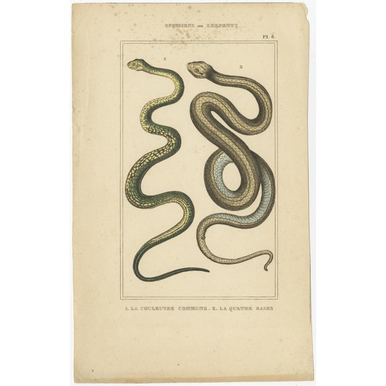 Pl. 6 Antique Print of Snake Species (c.1840)
