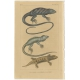 Antique Print of the Anolis Roquet Lizard and other Lizards (c.1820)