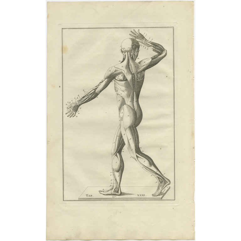 Pl. 31 Antique Anatomy Print of the Muscular System by Elwe (1798)