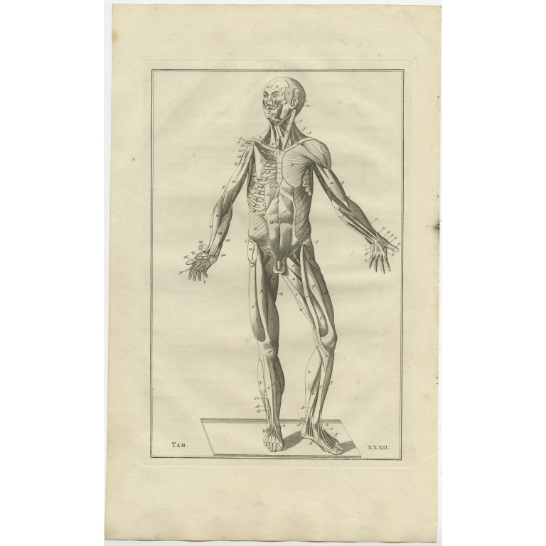 Pl. 32 Antique Anatomy Print of the Muscular System by Elwe (1798)