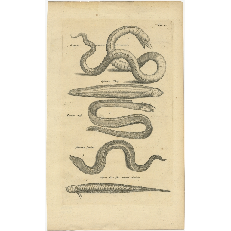 Antique Print of various Sea Snakes by Johnston (1657)