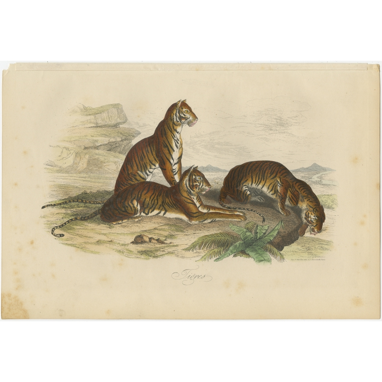 Antique Print of Tigers by Comte (1854)