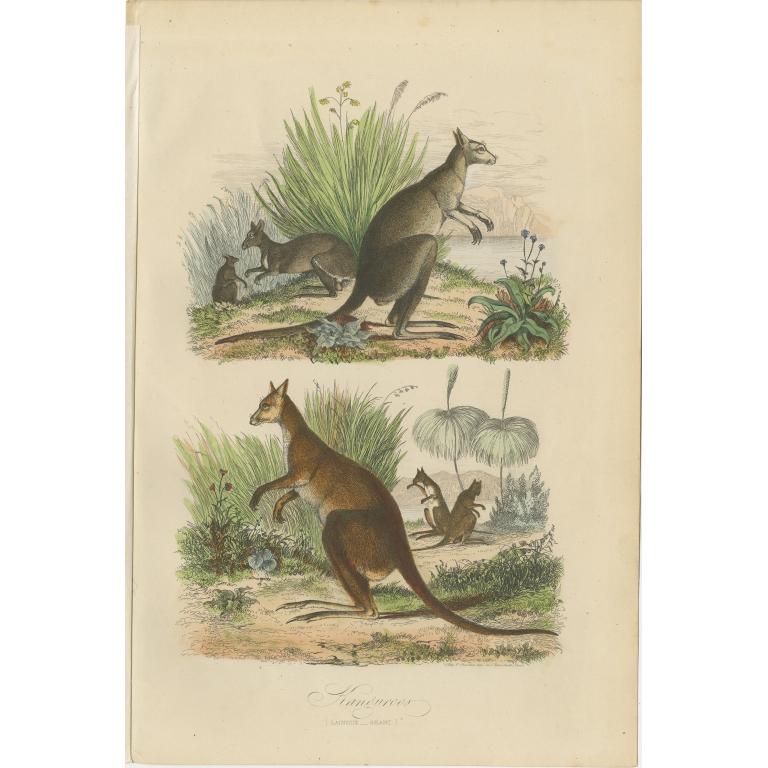 Antique Print of Kangaroos by Comte (1854)