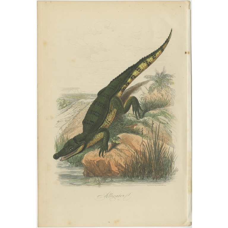 Antique Print of an Alligator by Comte (1854)