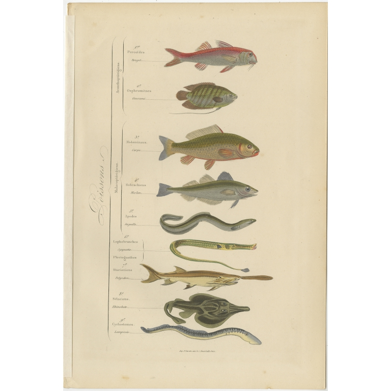 Antique Print of various Fishes by Comte (1854)
