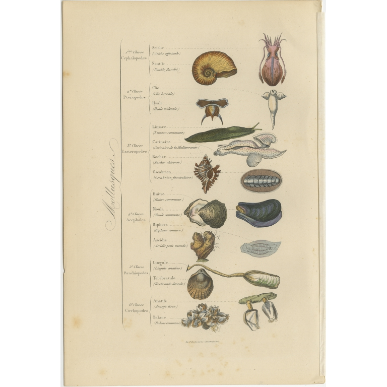 Antique Print of various Molluscs by Comte (1854)