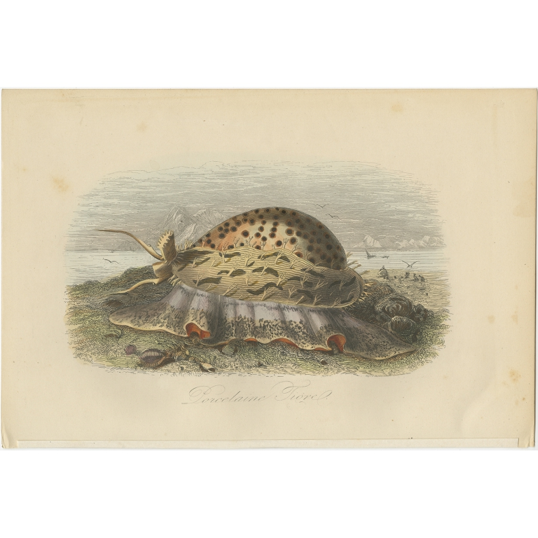 Antique Print of the Cypraea Tigris by Comte (1854)