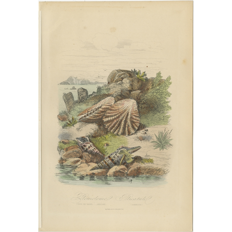 Antique Print of a Sea Snail and other Molluscs by Comte (1854)