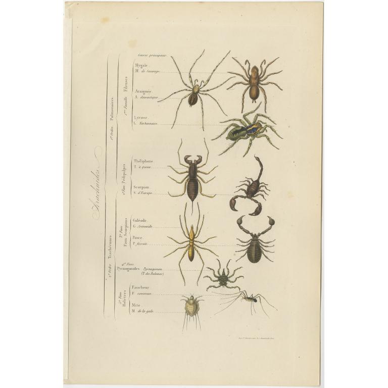 Antique Print of various Arachnids by Comte (1854)