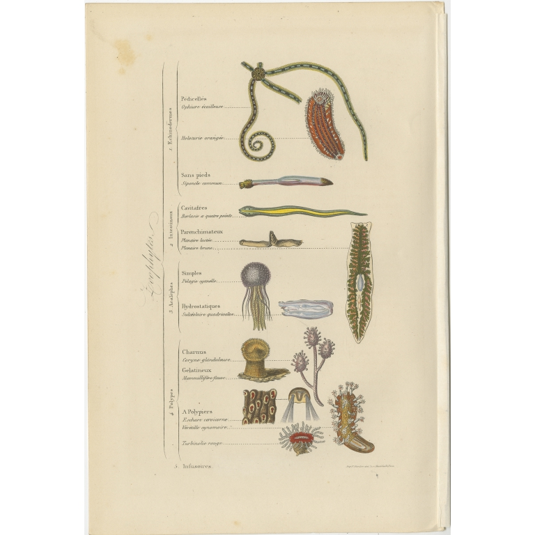 Antique Print of various Zoophytes by Comte (1854)