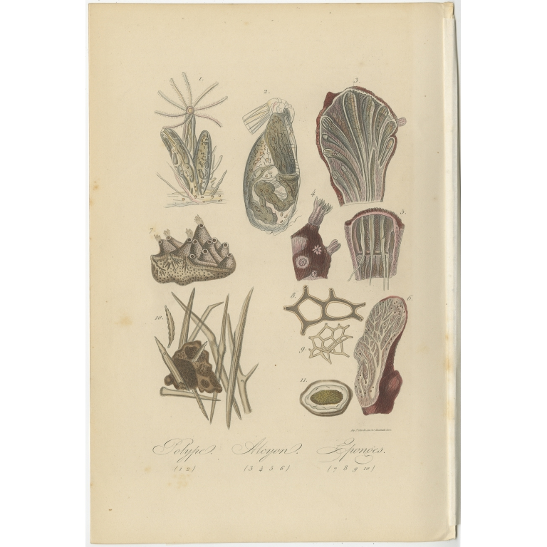 Antique Print of various Sponges by Comte (1854)