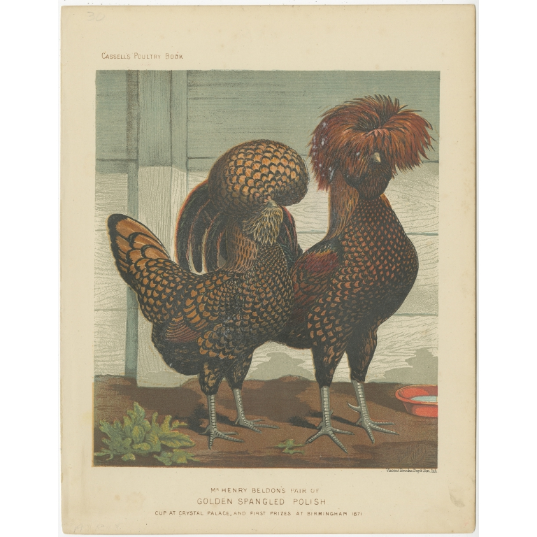 Antique Print of Golden Spangled Polish Chickens by Cassell (c.1880)