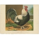 Antique Print of a Dorking Cock by Cassell (c.1880)