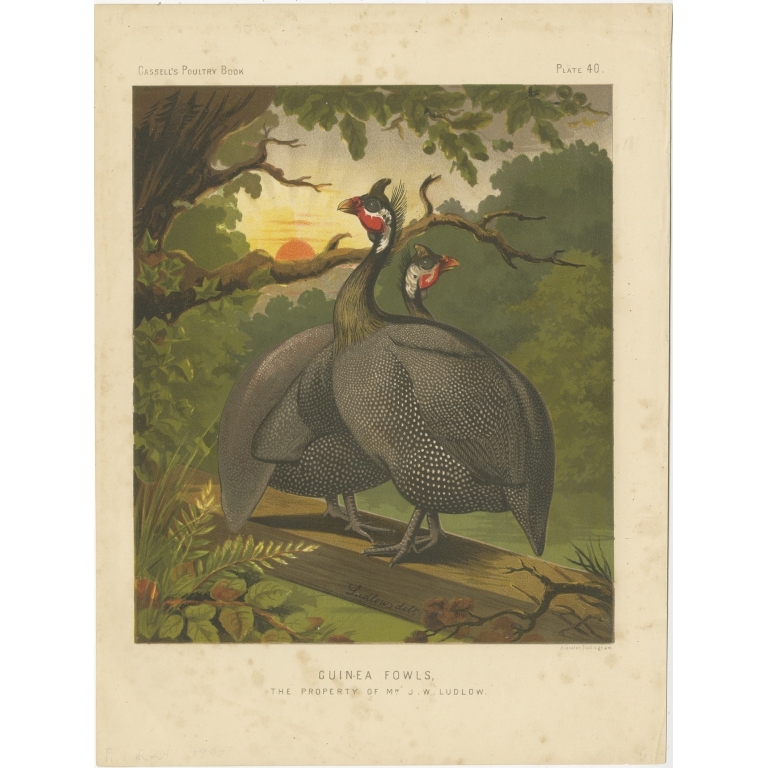 Antique Print of Guineafowl by Cassell (c.1880)