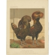 Antique Print of Golden Spangled Polish Chicken by Cassell (c.1880)
