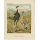 Antique Print of Duck Winged Game Fowl by Cassell (c.1880)