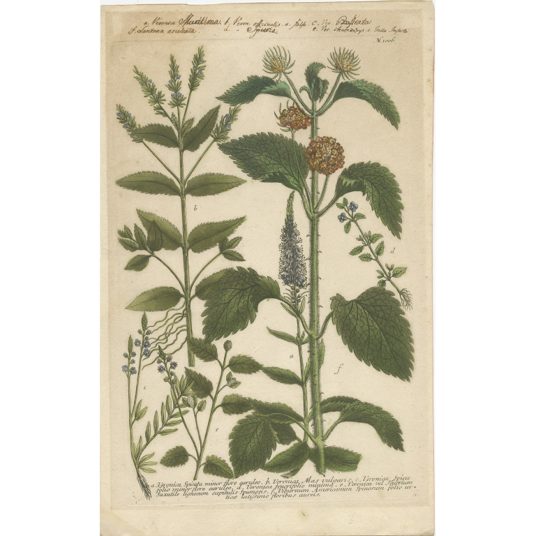 Pl. 616 Antique Botany Print of various Plants by Weinmann (1742)