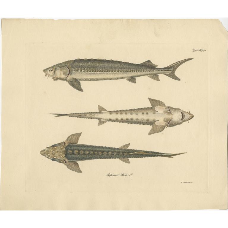 Antique Fish Print of the European Sea Sturgeon by Lehmann (c.1860)