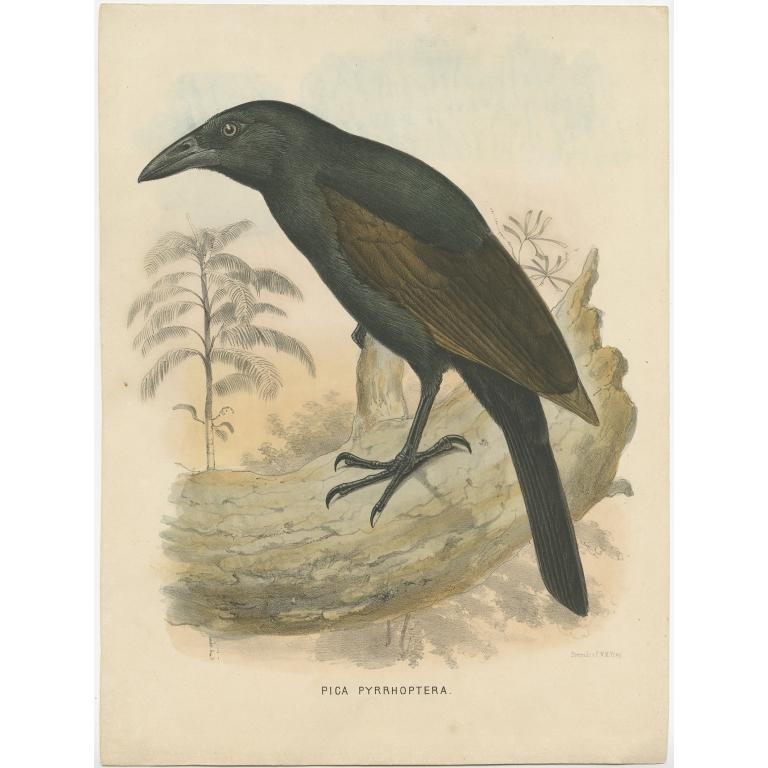 Antique Bird Print of the Halmahera Paradise-Crow by Schlegel (1859)