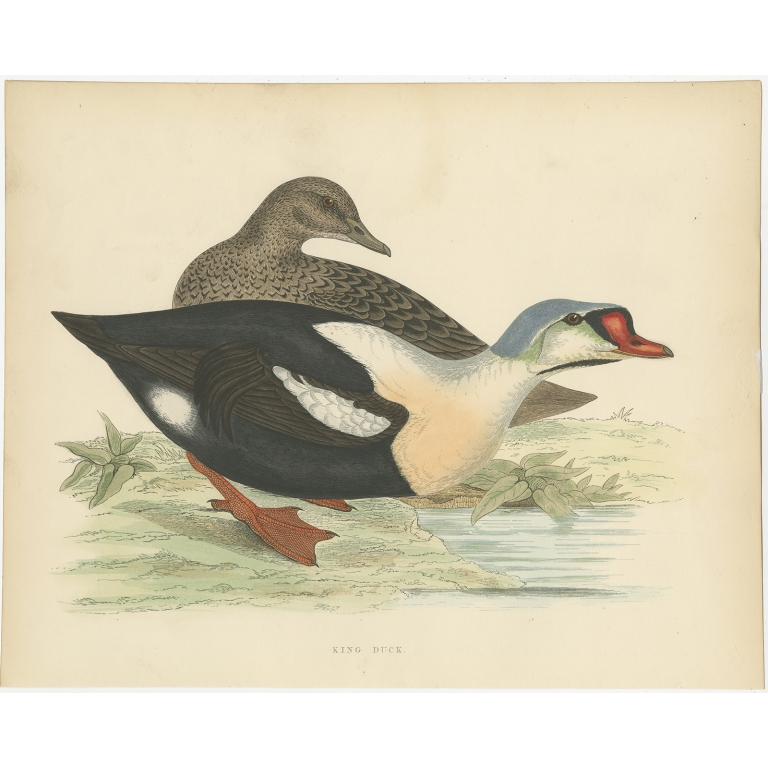 Antique Bird Print of the King Duck by Morris (1855)