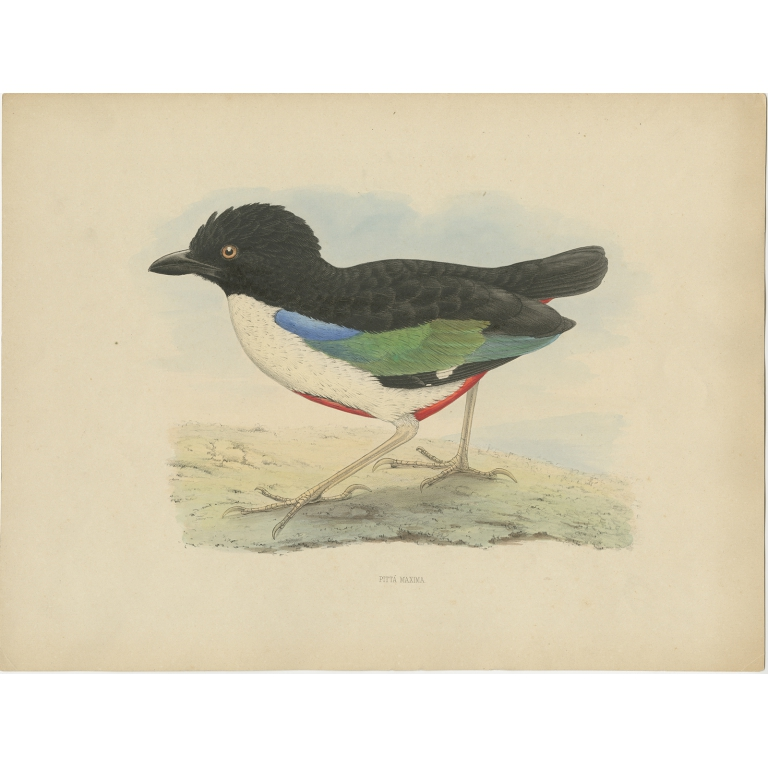 Antique Bird Print of the Ivory-Breasted Pitta by Westerman (1854)