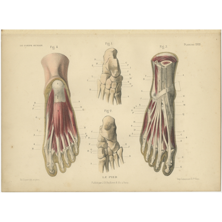 Antique Print of the Human Foot by Kuhff (1879)