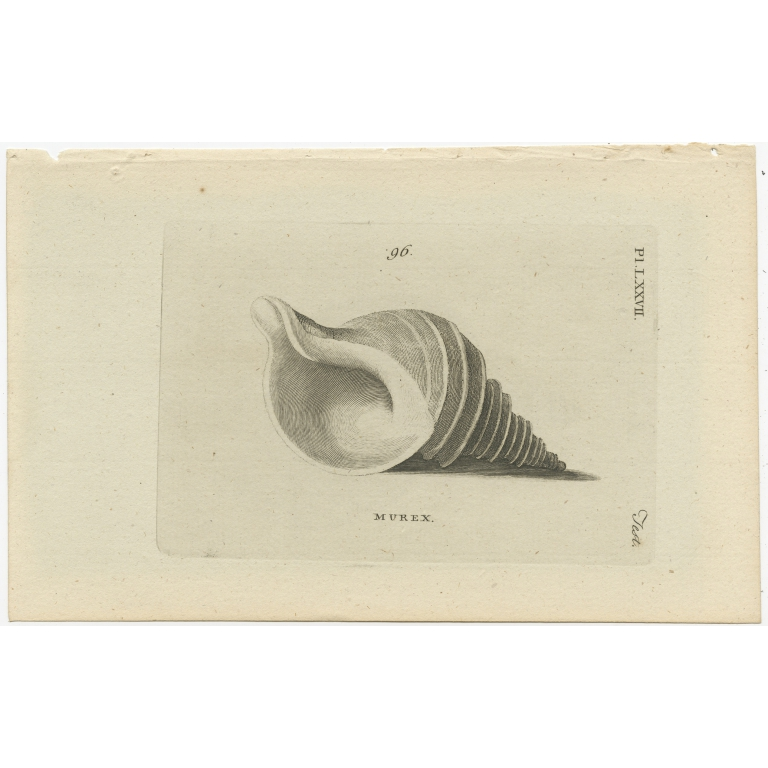 Pl. 77 Antique Print of a Murex Shell by Pennant (1777)