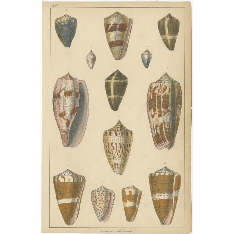 Pl. 44 Antique Print of various Sea Shells by Fullarton (c.1852)