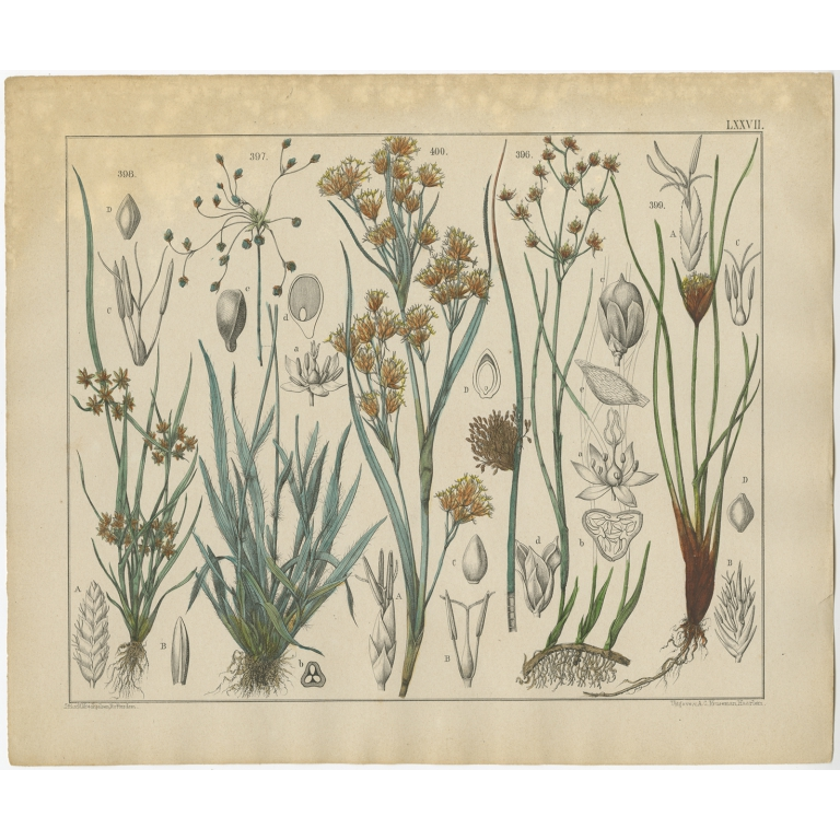 Pl. 77 Antique Botany Print of various Plants by Oudemans (c.1872)