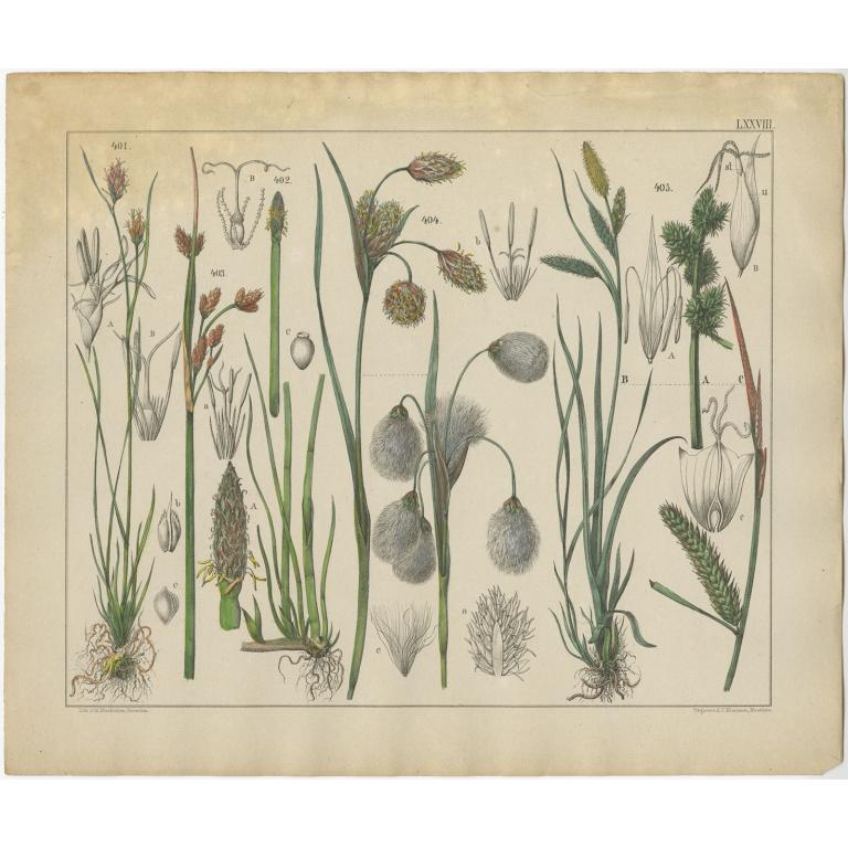 Pl. 78 Antique Botany Print of various Plants by Oudemans (c.1872)