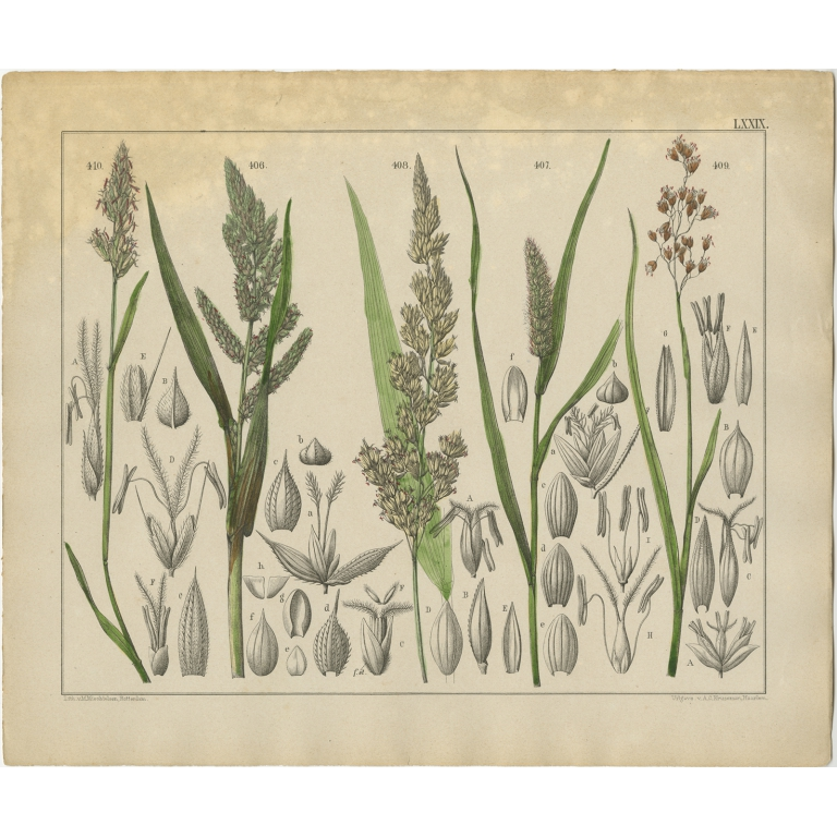 Pl. 79 Antique Botany Print of various Plants by Oudemans (c.1872)