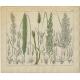 Pl. 81 Antique Botany Print of various Plants by Oudemans (c.1872)