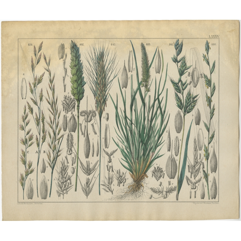 Pl. 85 Antique Botany Print of various Plants by Oudemans (c.1872)