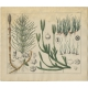 Pl. 87 Antique Botany Print of various Plants by Oudemans (c.1872)