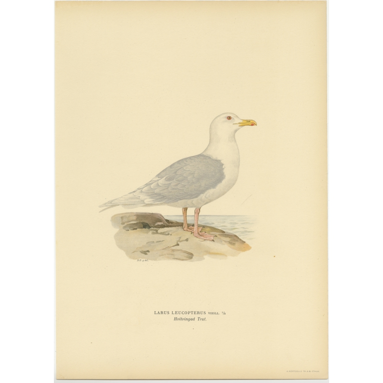 Antique Bird Print of the White-Winged Tern by Von Wright (1929)