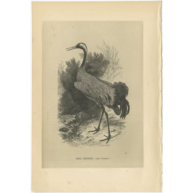 Antique Bird Print of a Common Crane by Le Maout (1853)