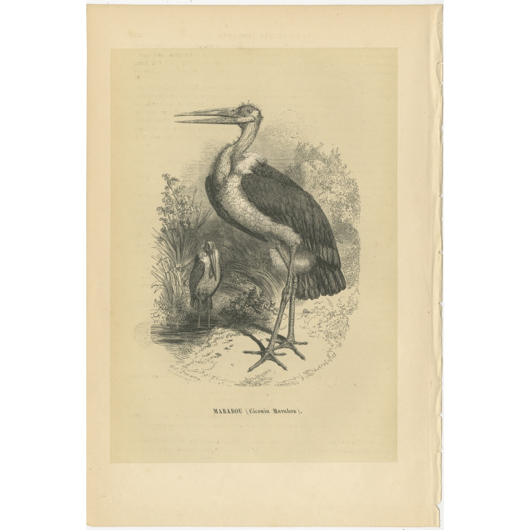 Antique Bird Print of a Marabou Stork by Le Maout (1853)