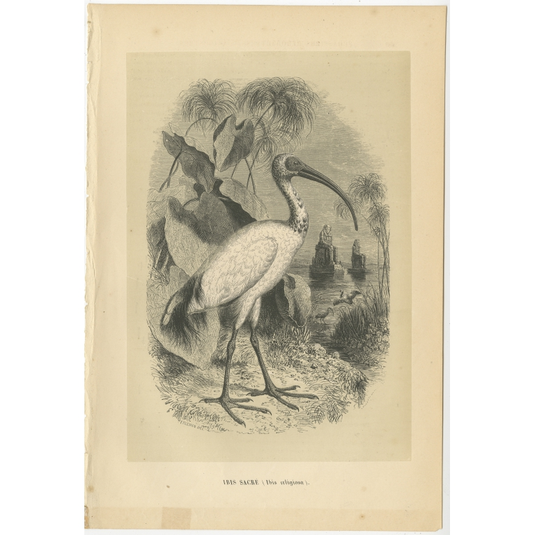 Antique Bird Print of a Sacred Ibis by Le Maout (1853)