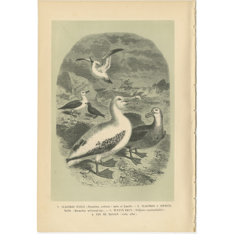 Antique Bird Print of the Wandering Albatross and other Birds by Le Maout (1853)