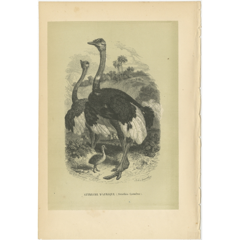 Antique Bird Print of the Common Ostrich by Le Maout (1853)