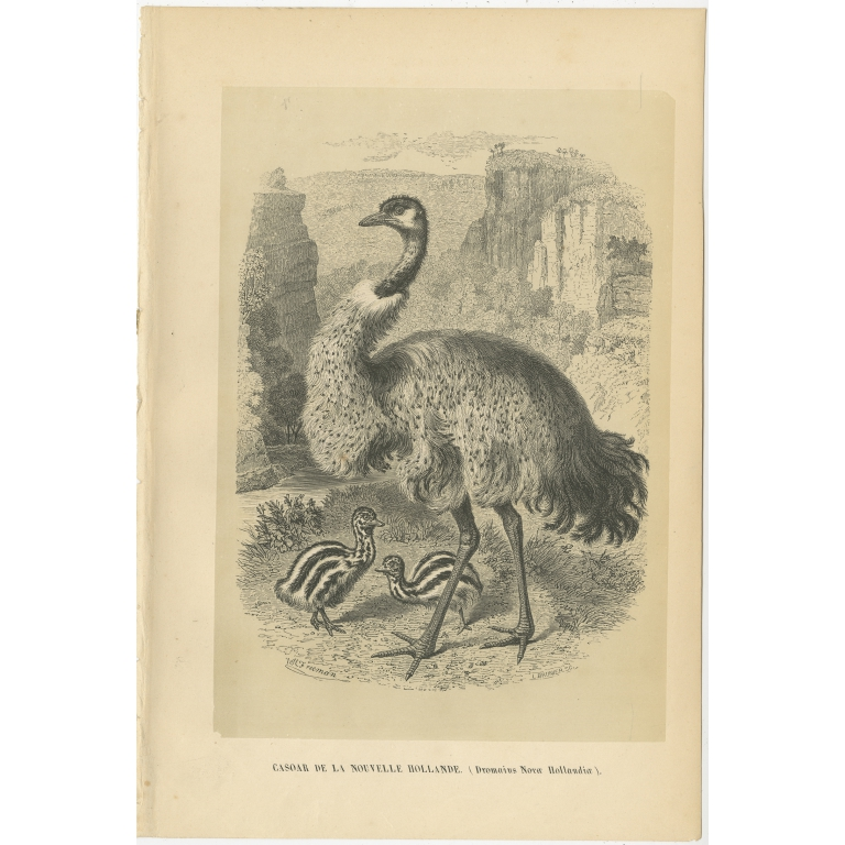 Antique Bird Print of an Emu by Le Maout (1853)